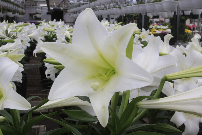 Behind The Tradition: Easter Lilies