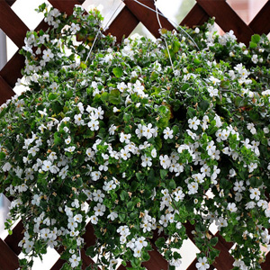 Hanging baskets bengert greenhouses west seneca ny mightylinksfo