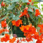 illuminationbegonia