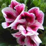 marthawashingtongeraniums