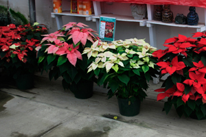 Behind the Tradition: Poinsettias