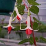 uprightfuschias