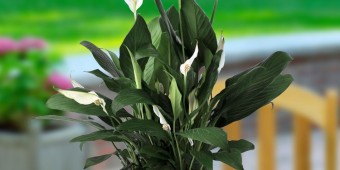 Peace-Lily-6