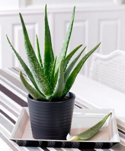 can-aloe-vera-be-grown-indoors