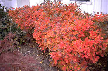fothergilla bengerts greenhouses western new york buffalo greenhouse, autumn