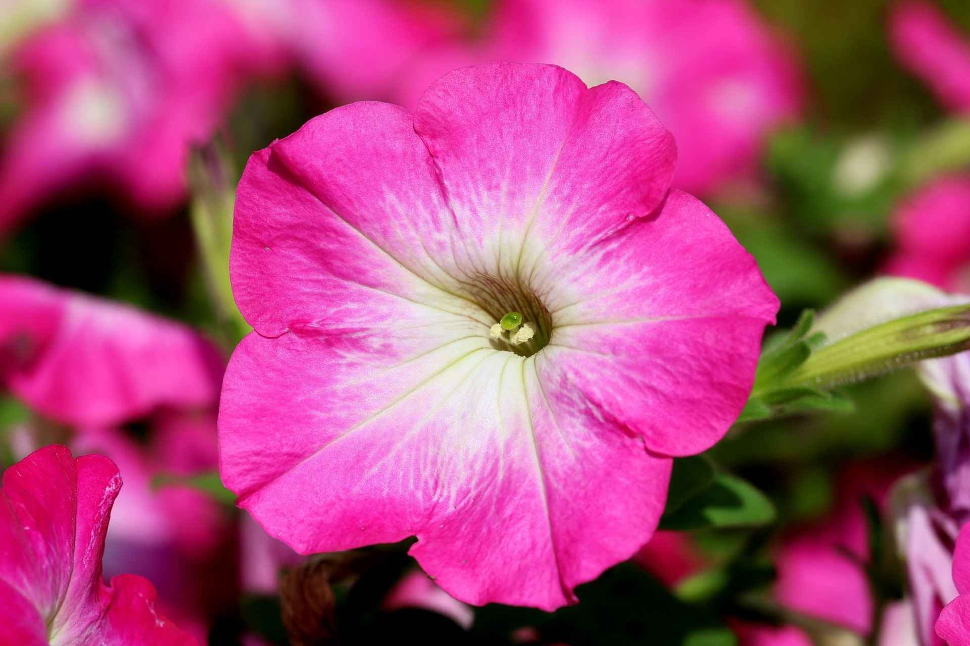 All About Petunias Bengert Greenhouses