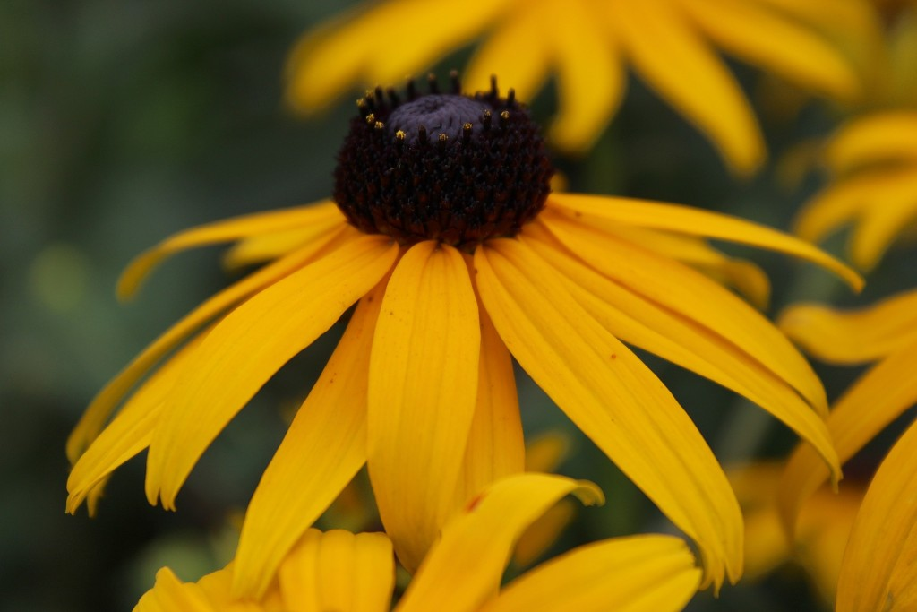 black-eyed-susan-885878_1920