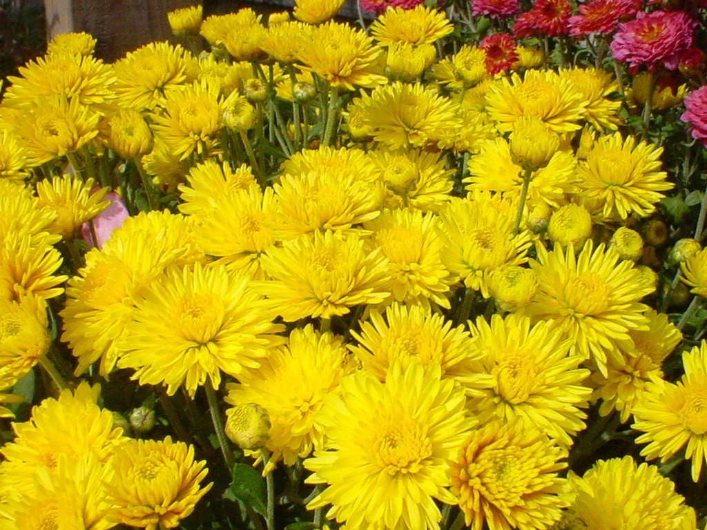 Fall flowers mad about mums bengert greenhouses when fall arrives it can be hard to watch all of your beautiful summer blooms die off however fall also brings about the star of the fall flowers the izmirmasajfo