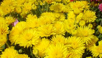 Fall Flowers: Mad About Mums