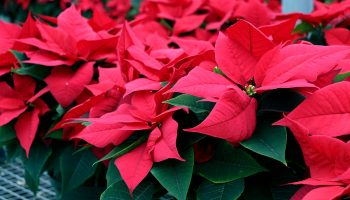Reblooming Holiday Poinsettias