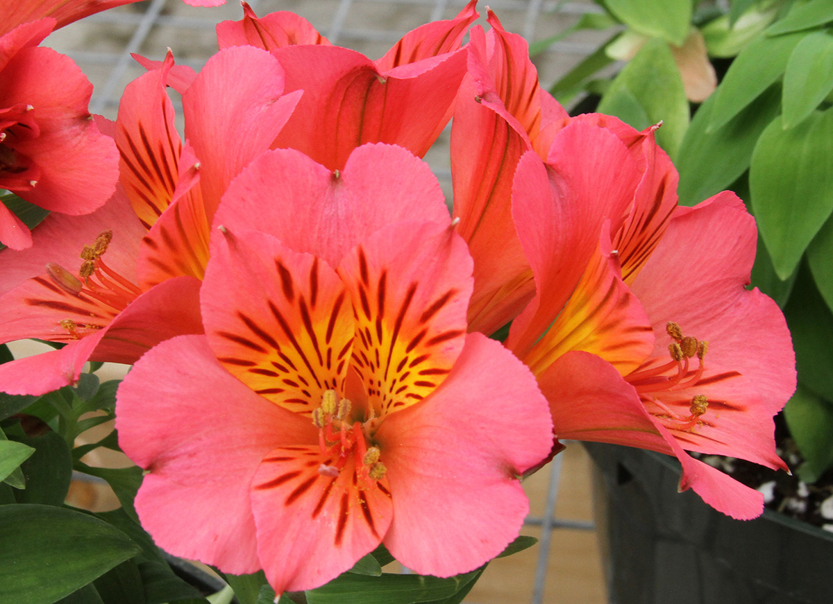 Buffalo greenhouses, West Seneca greenhouses, Bengert greenhouses, potted plants, Alstroemeria, potted Alstroemeria