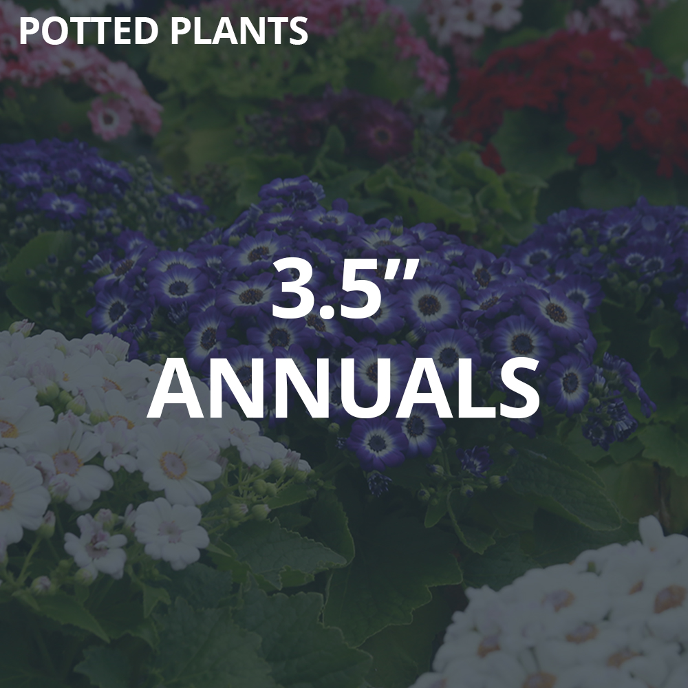 """3.5"""" Potted Annuals"""