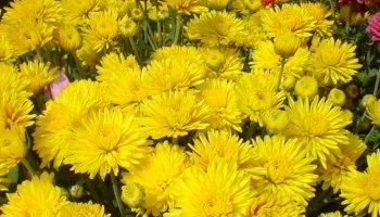 Chrysanthemums 101