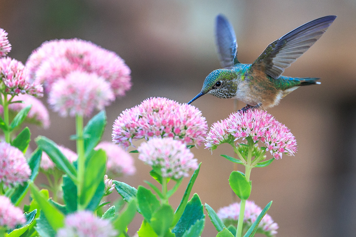 Invite Hummingbirds To Your Garden
