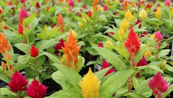 celosia, bengert greenhouses, buffalo greenhouse, west seneca greenhouse, garden, gardening, gardening tips, fall flowers