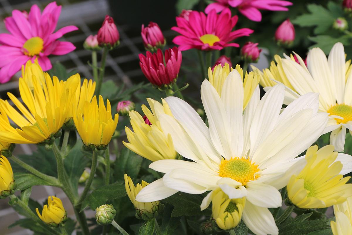 Bengert Greenhouses Fall Flowers Garden Autumn